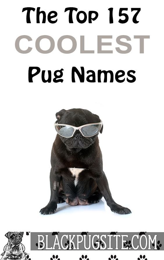 157 Amazing Pug Names That Will Help You Name Your New Member Of