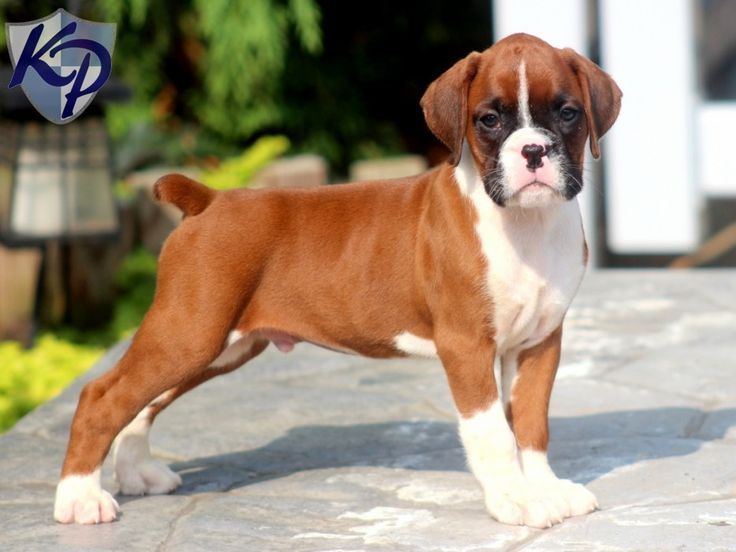 mini boxer puppies puppy finder find buy a dog today by using our 8794