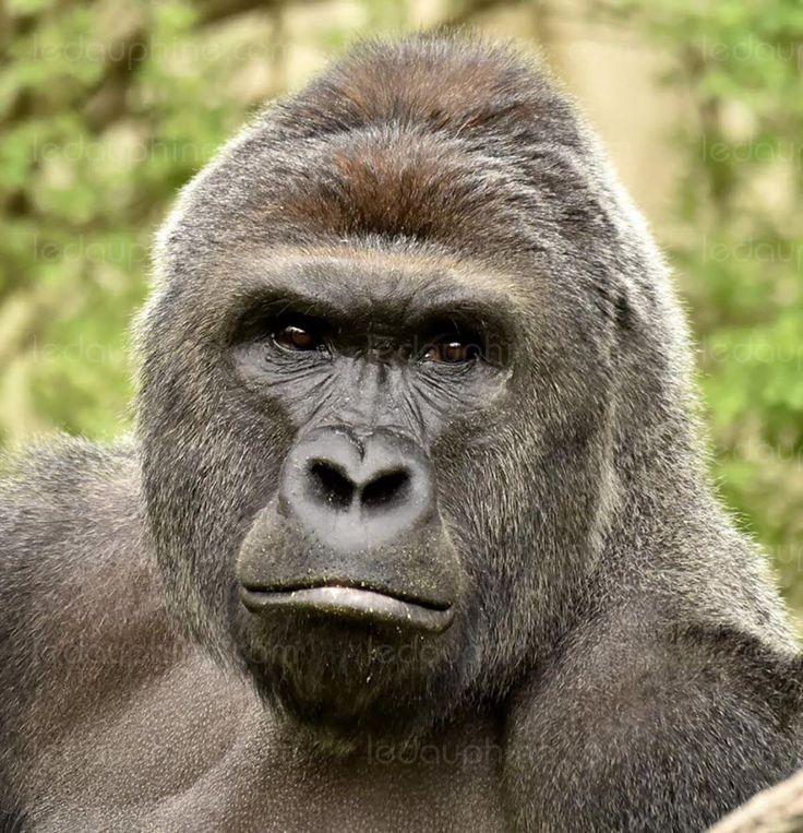Le gorille Harambe avait dû être abattu par le personnel du zoo après qu'un petit garçon soit tombé dans son enclos. Photo CINCINNATI ZOO & BOTANICAL GARDEN