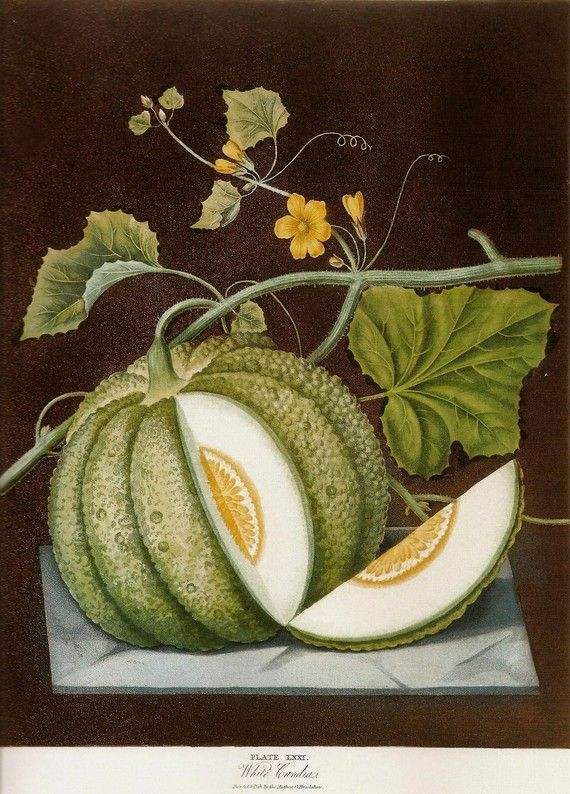 FRUIT PRINT MELON 2002 Color Art Original by NaturalistCollection