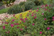 winecups: Plant Select, Colorado Gardening, Bee Gardens, Colorado Plant, Winecups Callirhoe, Flower, Native Garden