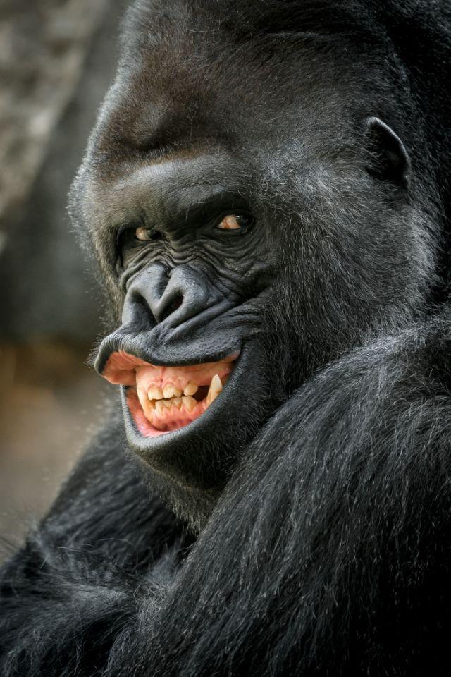 Richard, the unusually photogenic gorilla from Prague Zoo. (Photo: Prauge Zoo/Caters News)