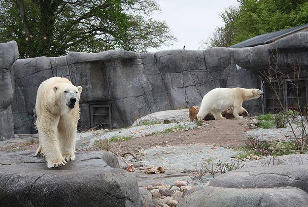 copenhagen zoo | ... injured in polar bear enclosure at Copenhagen zoo – | Lonely Planet