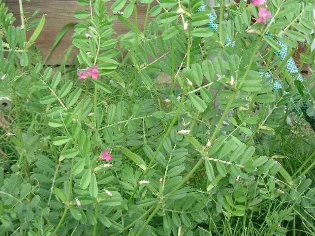 カラスノエンドウ  庭の雑草