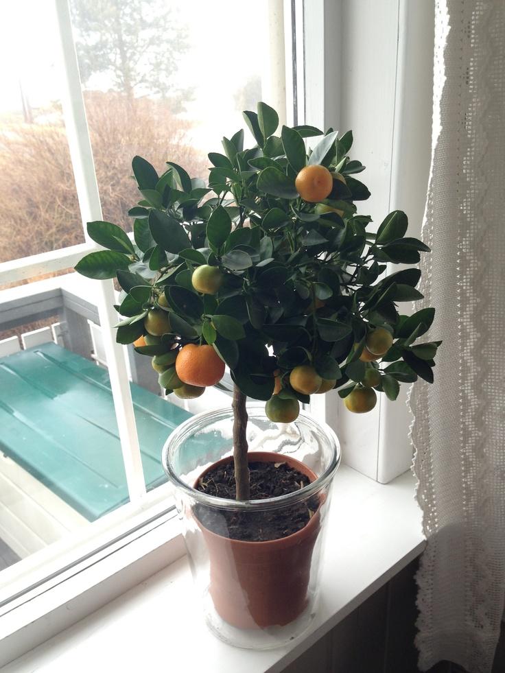Et mini-appelsin tre gjør seg i vinduet.