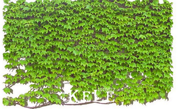 Big Sale!100 pcs/Pack Green Boston Ivy Seeds Ivy Seed For DIY Home & Garden Outdoor Plants Seeds,#REQC3V