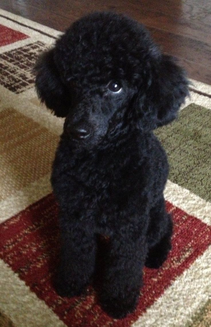 images of silver or platinum toy poodles - Google Search #Poodle