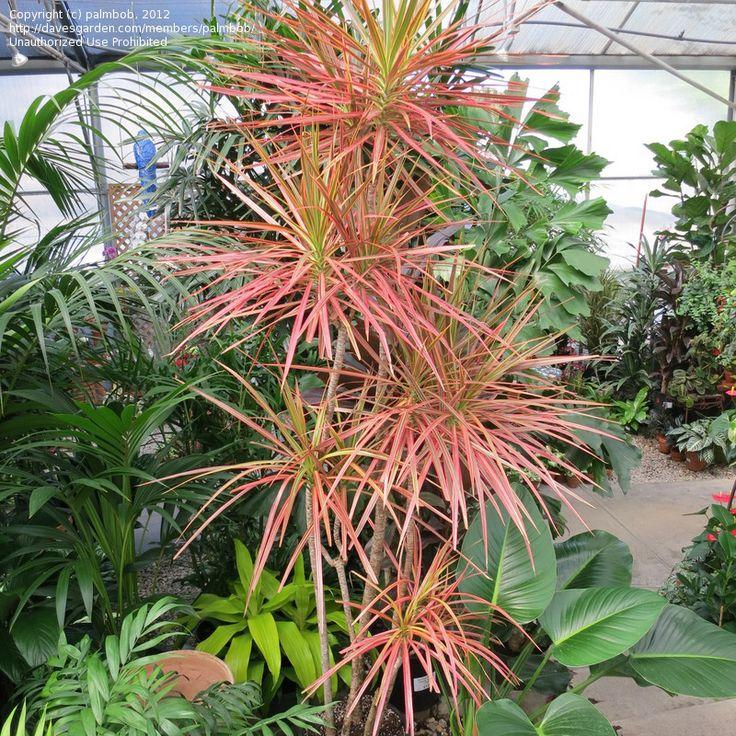Full size picture of Red-margined Dracaena, Dragon Tree 'Tricolor' (Dracaena marginata)