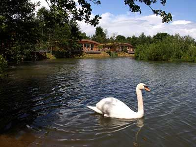One of our resident swans