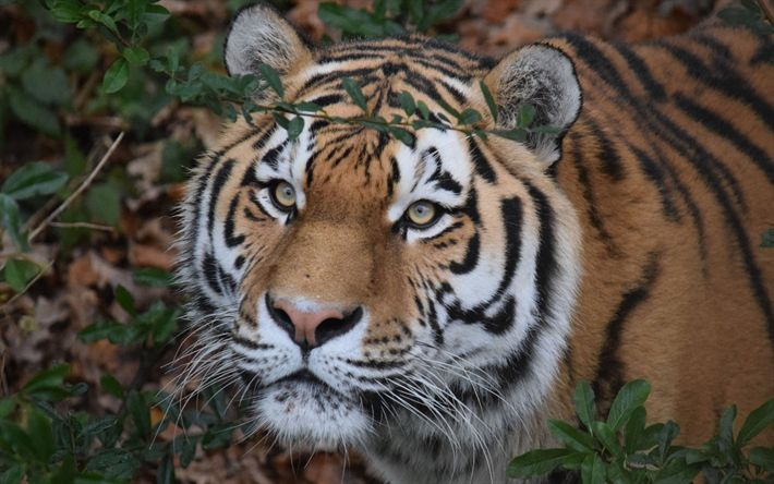 Hämta bilder Amur tiger, rovdjur, vilda djur, tigrar, skogen