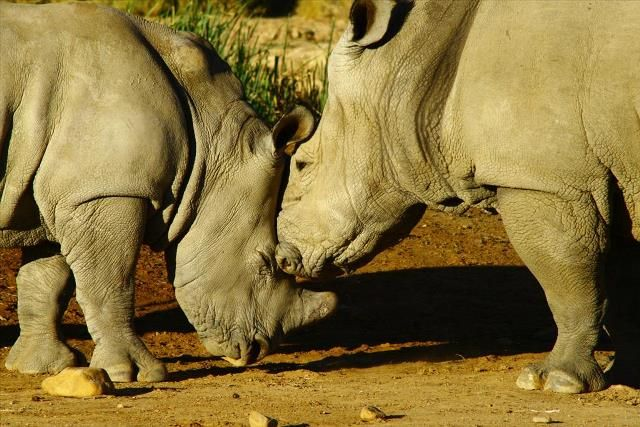 READ about the rhino's plight.