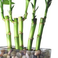 Bamboo house plants, also known as lucky bamboo, is a member of the Dracenea houseplant family. Known for their ability to adapt to any environment they are placed, is probably why they are lucky for the homeowner. This indoor plant makes a great gift for a loved one who doesn't have a green thumb. Usually grown in a glass vase with water and...