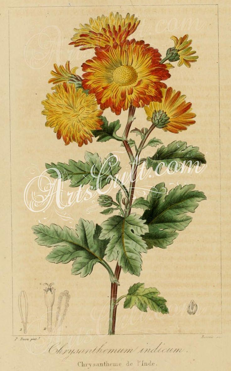 chrysanthemum indicum   ...