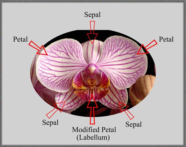 diagram of orchids a diagram of a cochlea spiral organ region of #15