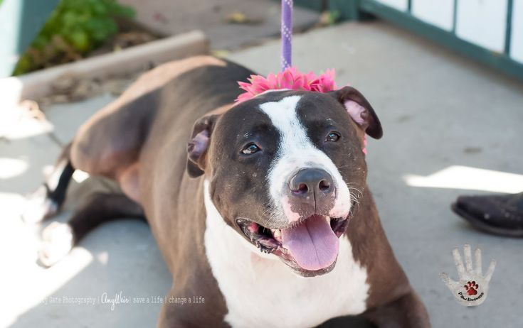 American Pit Bull Terrier dog for Adoption in Tempe, AZ. ADN-697048 on PuppyFinder.com Gender: Female. Age: #PitBull
