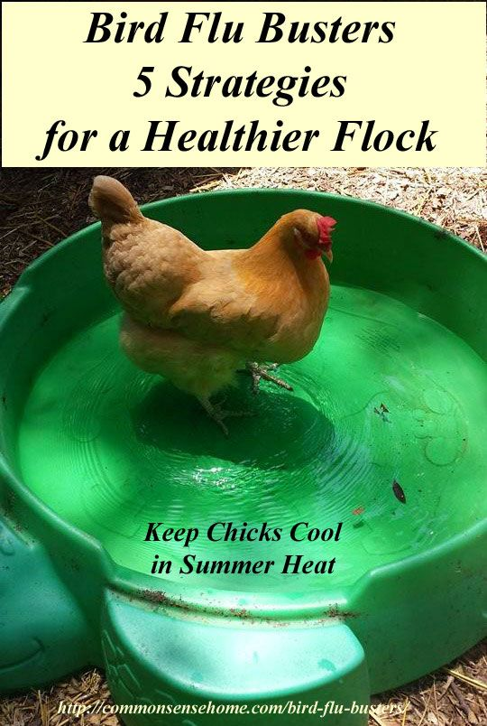 Bird Flu Busters - 5 Strategies for a Healthier Flock Bird Flu. Symptoms and Transmission, Plus 5 Important Strategies to Help Keep Your Backyard Flock Healthy and more Resistant to Avian Influenza Infection.