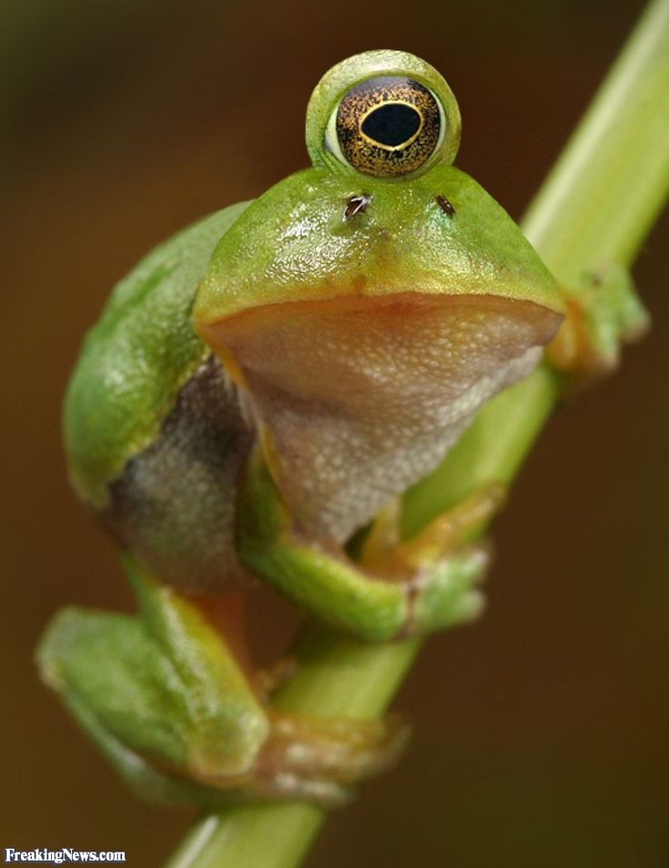 one eyed frog - Images Of Frogs