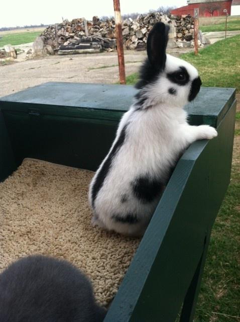 Checkered Giant baby buck - BV's Wabi Sabi, born and bred here on Blu-Vu farm!