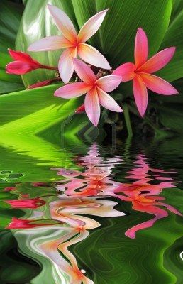 Plumeria Flowers Hawaii