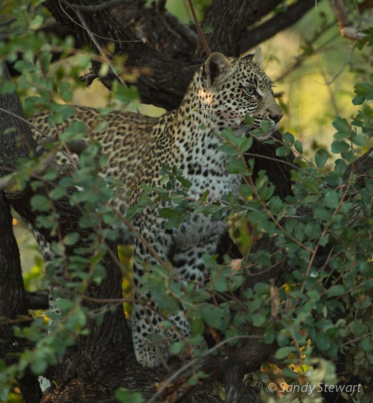Juvenile female leopard - Rock Fig Junior's - they are not given names until there is more certainty about survival.