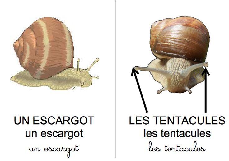 Dossier complet sur l'escargot.