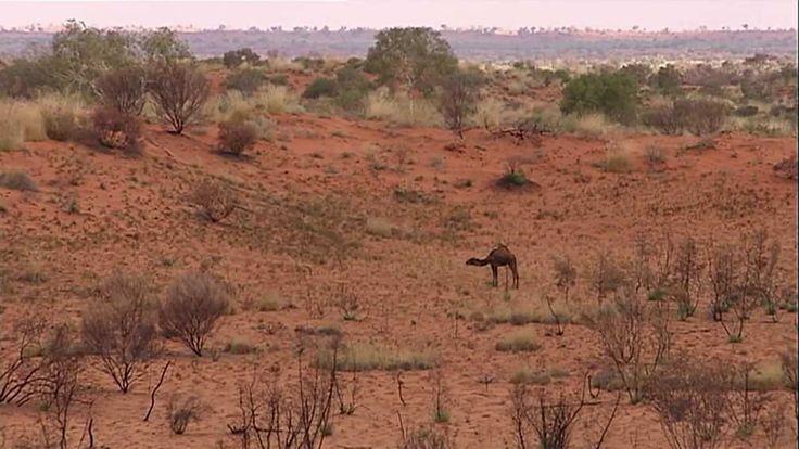 Australian Feral Camel management project 2013.