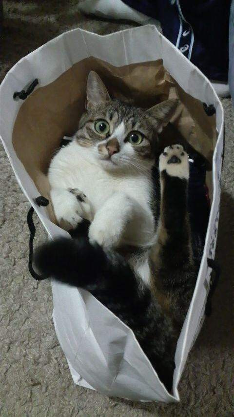 Why do cats LOVE bags?