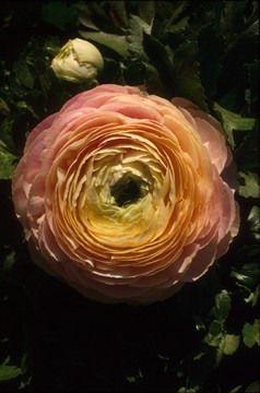 Ranunculus; Persian buttercup