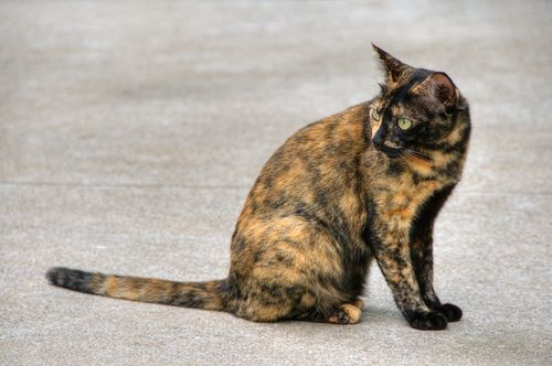 tortoise shell cat, sometimes shortened to torties