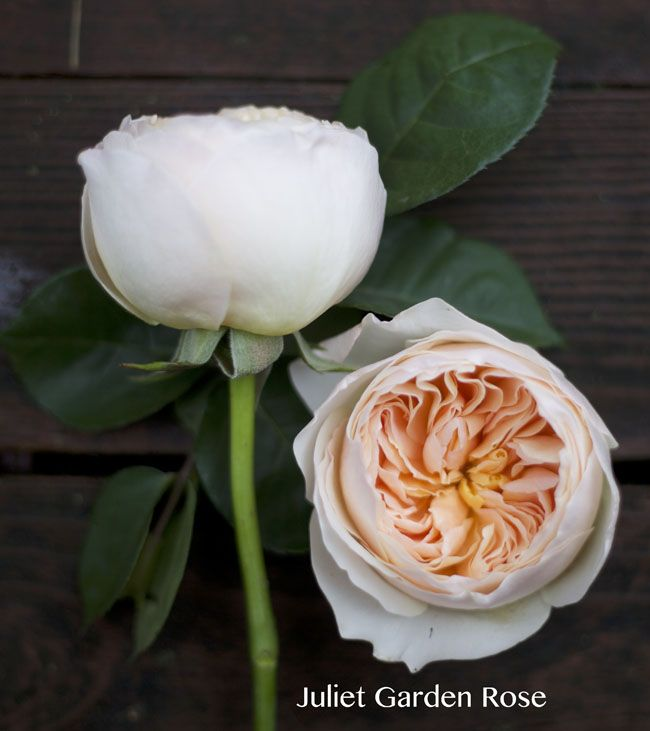 David Austin Peach Juliet Garden Rose