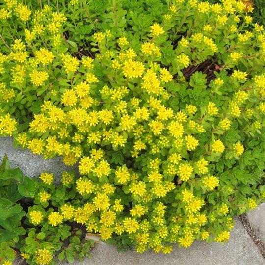 Best 25 Sedum Ground Cover Ideas On Pinterest Plant