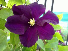 57 best images about clematis in finland k rh j suomessa on pinterest princess kate. Black Bedroom Furniture Sets. Home Design Ideas