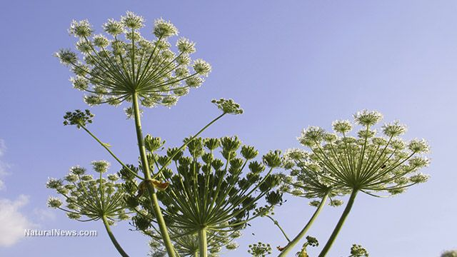 Nature fights back: Monster hogweed plant causes blindness to humans - NaturalNews.com