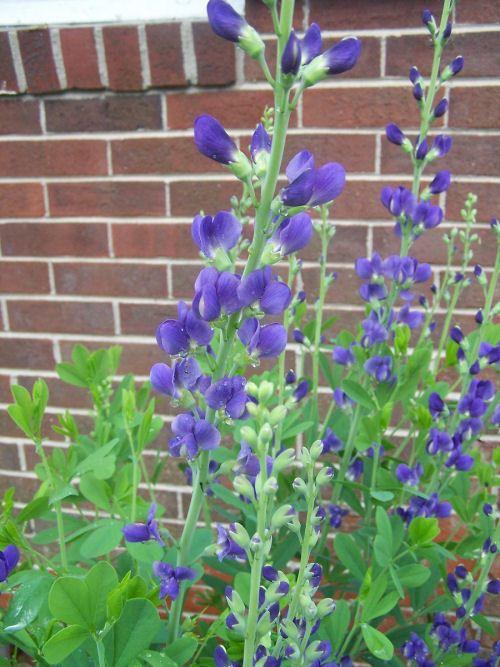 Wild indigo - Baptista Australis - easy to grow and drought resistant perennial.  http://thegardeningcook.com/how-to-grow-baptista-australis/