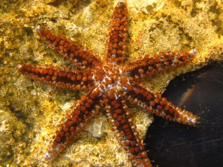 Coscinasterias tenuispina, also known blue spiny starfish or white starfish Order:Forcipulatida, Family:Asteriidae, Genus:Coscinasterias