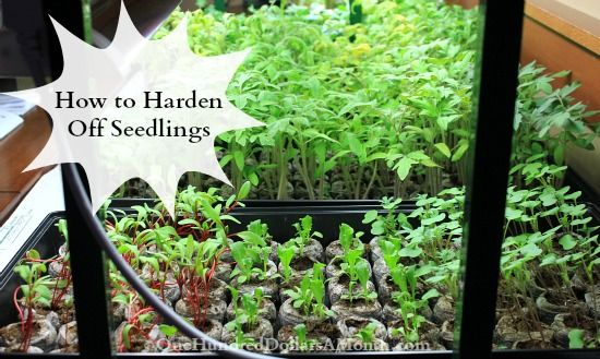 How to Harden Off Seedlings- here in Wyoming we traditionally don't plant until after Memorial Day weekend, so this is THE week to get my plants ready! Hope you are off to a great gardening season!