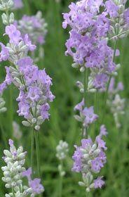 Lavandula angustifolia 'Blue Cushion' - Garten-Lavendel