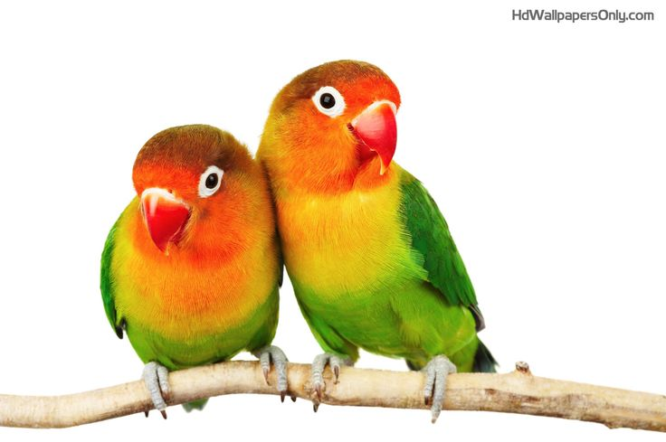 Beautiful couple of birds