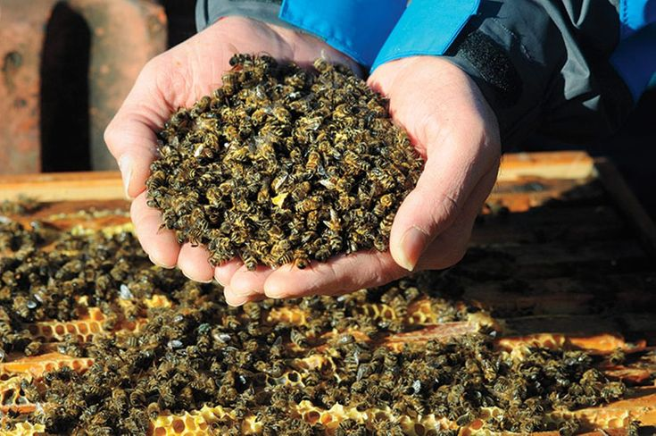 What Is Killing America's Bees and What Does It Mean for Us?  Read more: http://www.rollingstone.com/politics/news/what-is-killing-americas-bees-and-what-does-it-mean-for-us-20150818#ixzz3jNxL8aZz  Follow us: @rollingstone on Twitter | RollingStone on Facebook