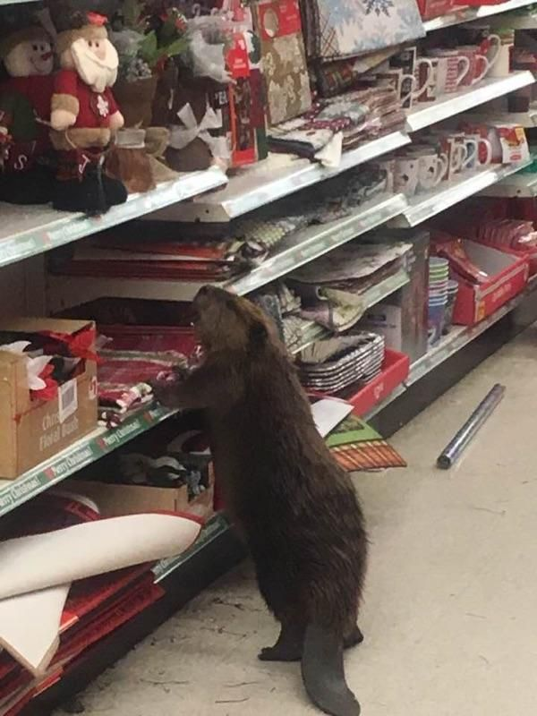 The beaver tipped over displays like it didn't give a dam.