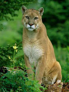 A puma ou suçuarana (Puma concolor) também chamada de cougar, jaguaruna, leão-baio, onça-parda, onça-vermelha e leão-da-montanha, é um felino nativo das Américas.