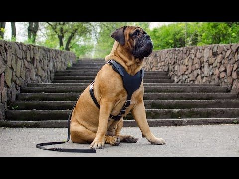 Training Leather Dog Harness for Bullmastiff and other large breed dogs - YouTube