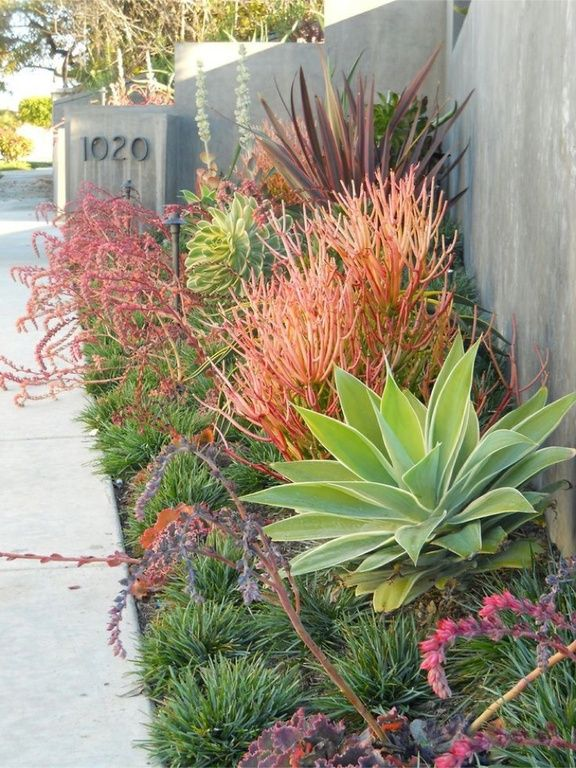 Traditional Landscape/Yard with Fire Sticks Pencil Cactus - Euphorbia - Easy to grow, Pathway, Fence