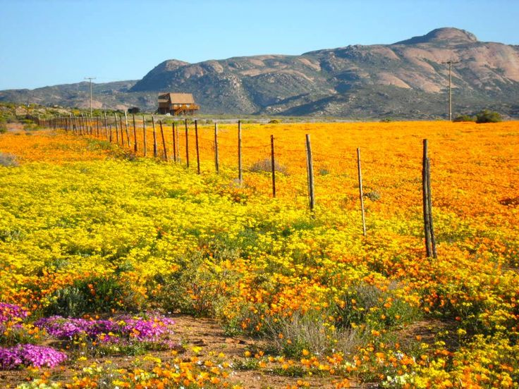 Namaqualand, A land of spectacular spring wildflower phenomenon. Namaqualand is an arid region of Nambia and South Africa. mywebtravelagent.com