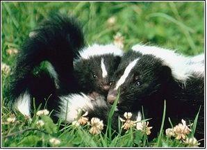 Baby Skunk Fact