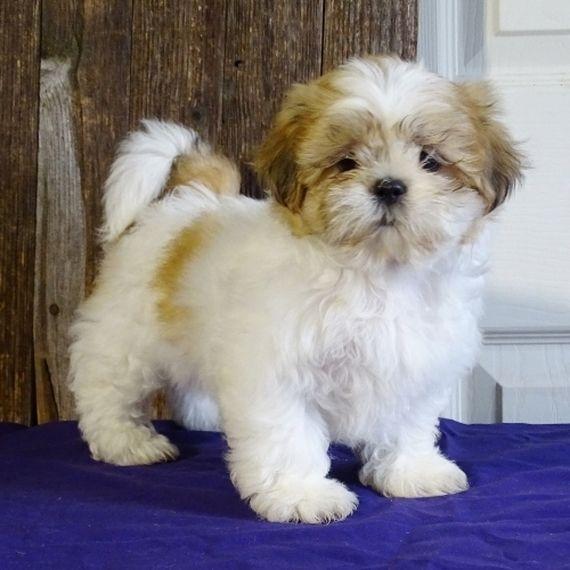 Trisha Shih Tzu Puppy Puppyspot Shitzu Puppies Shih Tzu Puppy Puppies