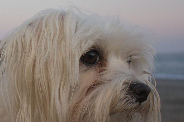 Bichon Maltes: origen, cuidados, precio,  perro, características, alimentación, imágenes y vídeos: Sabias que - Bichón Maltes