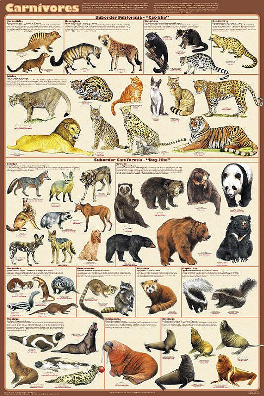 """Carnivorous Animals Poster 24x36 by Feenixx Publishing The name of this order / clade came from the word carnivore, which means """"meat-eating."""" Although this is generally true, the notable exception if"""