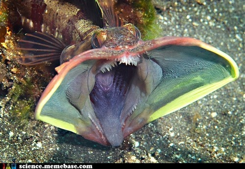 Whhhhhaaaat    Even better: it's called a sarcastic fringehead    http://en.wikipedia.org/wiki/Sarcastic_fringehead