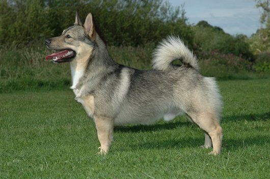 The Cutest Dog You've Never Heard of: Swedish Vallhunds aka Wolf Corgis (15 Pics) - http://www.funnyphotos4u.com/the-cutest-dog-youve-never-heard-of-swedish-vallhunds-aka-wolf-corgis-15-pics/